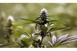 Aprueban cultivo de marihuana en cinco viveros de la Florida