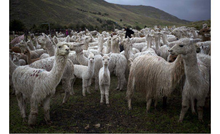 AP Fotos: Fibra de alpaca va de los Andes a tiendas de lujo