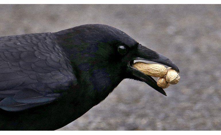 Científicos estudian la privilegiada memoria de los cuervos