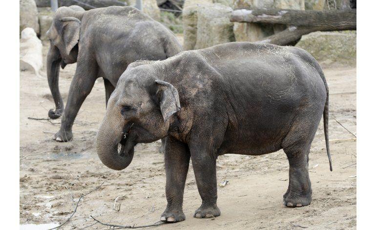 Zoológico de Praga fabricará papel de estiércol de elefante