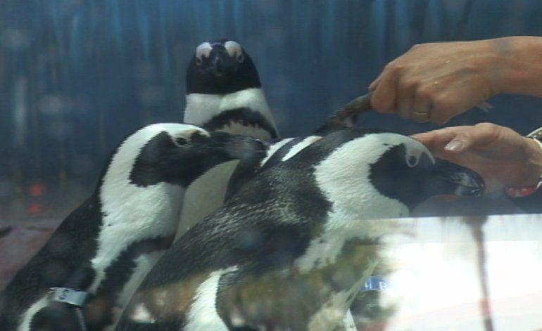 Penguin Palooza este fin de semana en el acuario de Miami