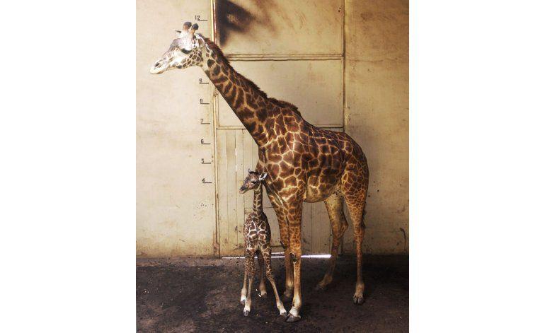 Jirafa nacida en zoo de Santa Barbara aparece en video