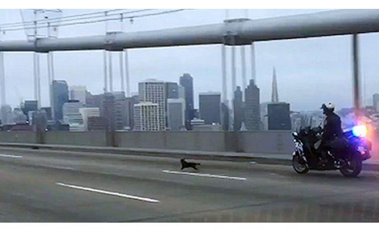 Detienen a perro chihuahueño sobre puente en San Francisco