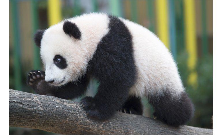 Zoológico de Malasia anuncia el nombre de su panda bebé