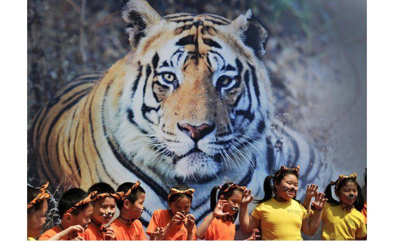 Por primera vez en un siglo sube conteo de tigres silvestres