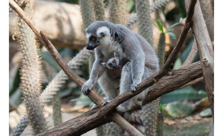 Debutan tres bebés de lémur en zoológico de NYC