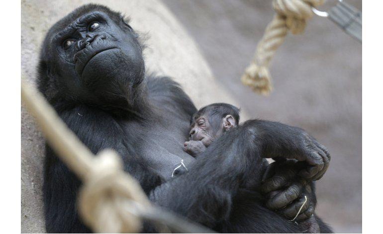 Una gorila da a luz inesperadamente en zoológico de Praga
