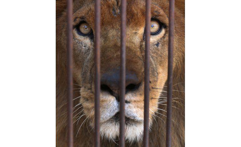 Alistan traslado a Sudáfrica de leones rescatados de circos
