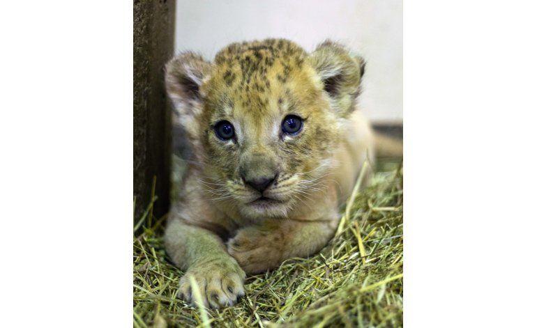 Zoológico de Nueva York presenta a su nuevo cachorro de león