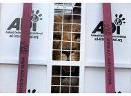 peru: 33 leones rescatados de circos parten a sudafrica