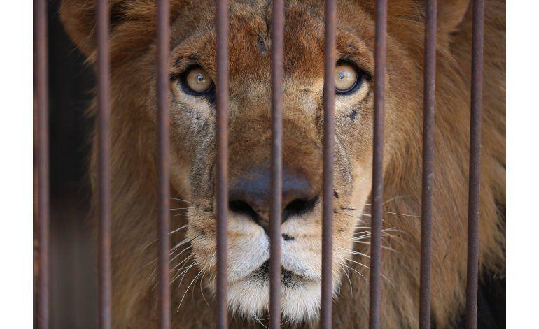 Perú: 33 leones rescatados de circos parten a Sudáfrica
