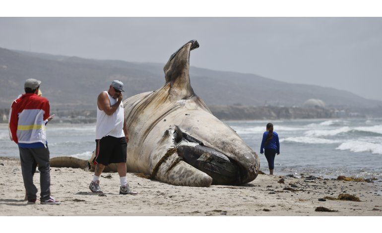 Retiran cadáver de ballena de popular playa de California
