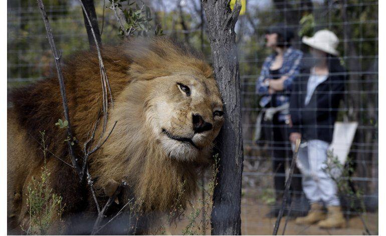 33 leones rescatados llegan a santuario en Sudáfrica