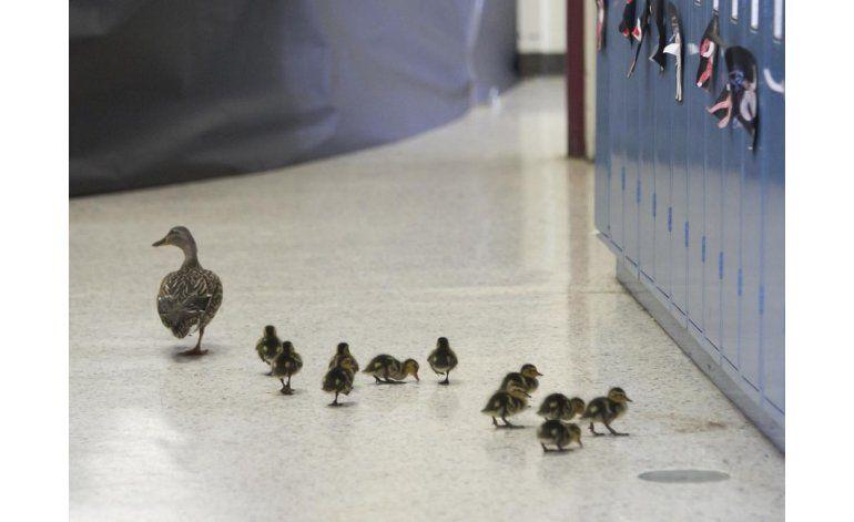Una mamá pata recorre cada año los pasillos de una escuela