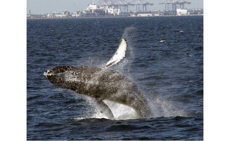 Número inusualmente alto de ballenas en San Francisco