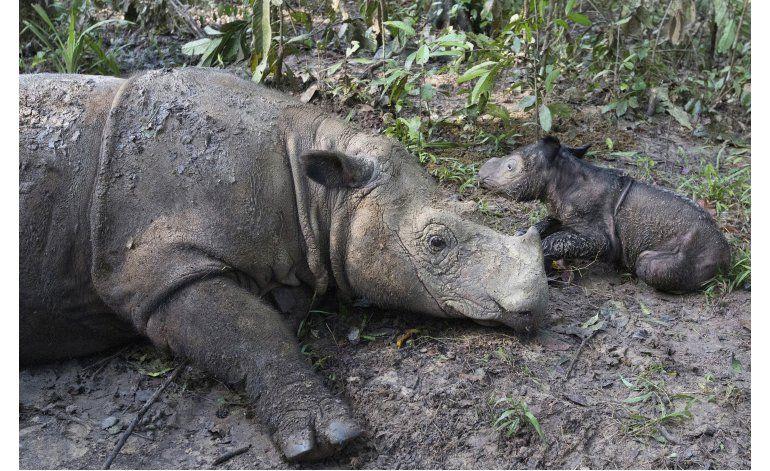 Indonesia: Nace una cría de rinoceronte de Sumatra