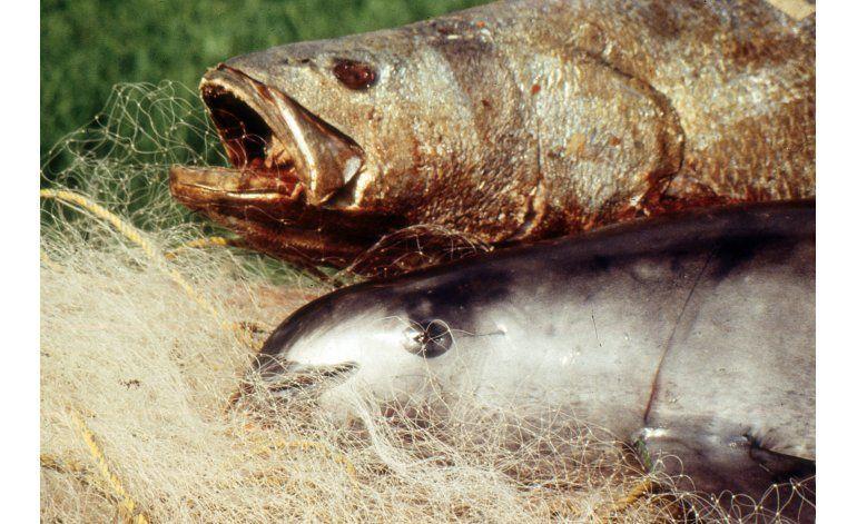 Expertos: Vaquita marina de México rumbo a la extinción