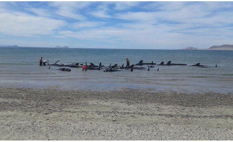 24 ballenas piloto mueren varadas en Baja California