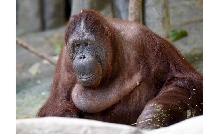 Muere por eutanasia una orangután de un zoológico en Chicago