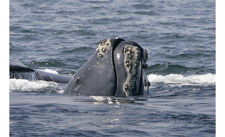 App protege a ballenas de choques en época de avistamientos
