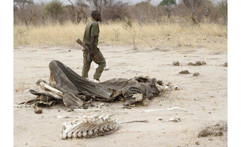 Cazadores furtivos matan con cianuro a elefantes en Zimbabue