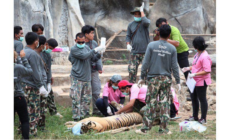 Autoridades en Tailandia trasladan a tigres de un templo