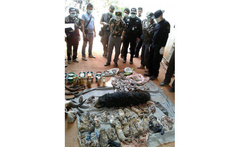 Cuerpos de cachorros de tigres hallados en templo tailandés