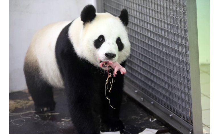Nace un panda en el zoológico belga