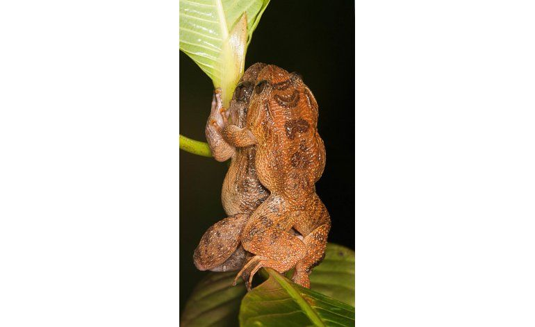 Estudio reporta posible nueva posición sexual de ranas
