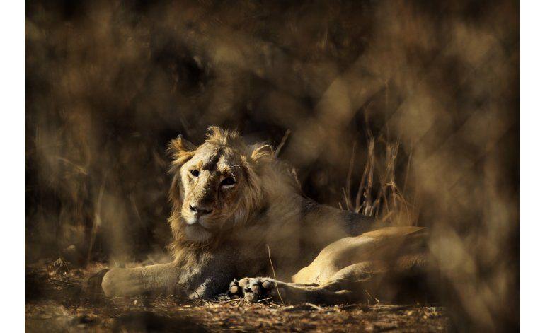 Leones en India vivirán en cautiverio por comer humanos