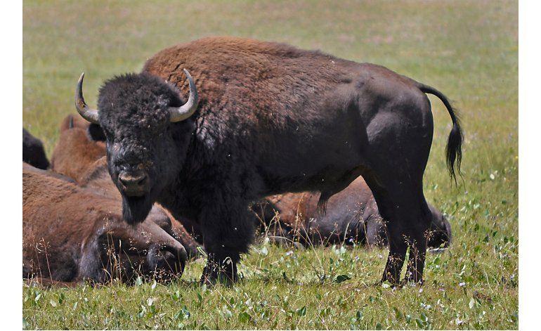 Informe: Bisontes son autóctonos del Gran Cañón en Arizona