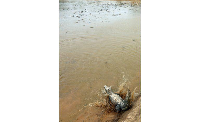 Paraguay: Cocodrilos al borde de la muerte por sequía
