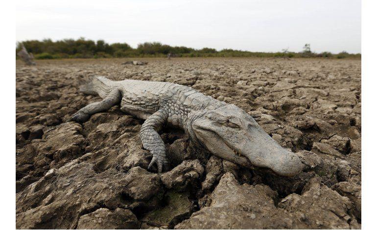 Paraguay: Caimanes al borde de la muerte por sequía