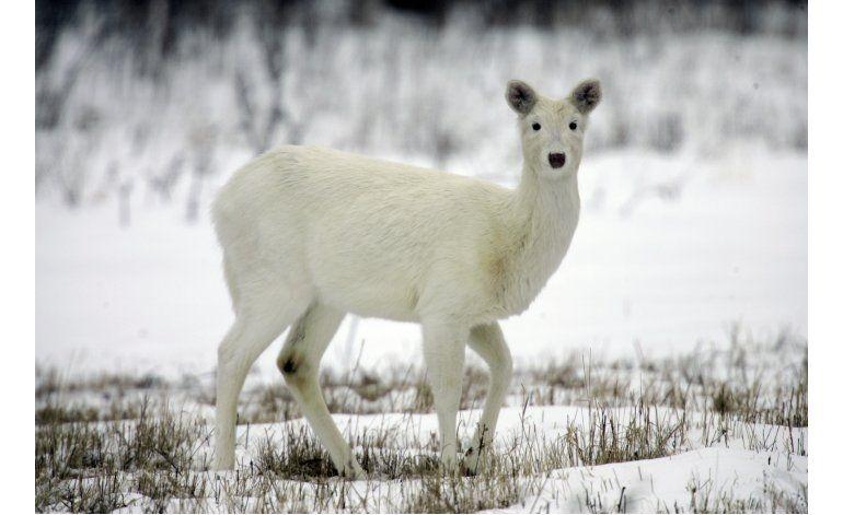 Preservarán rebaño de ciervos blancos en Nueva York