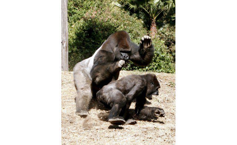 Muere gorila en zoológico de Ciudad de México