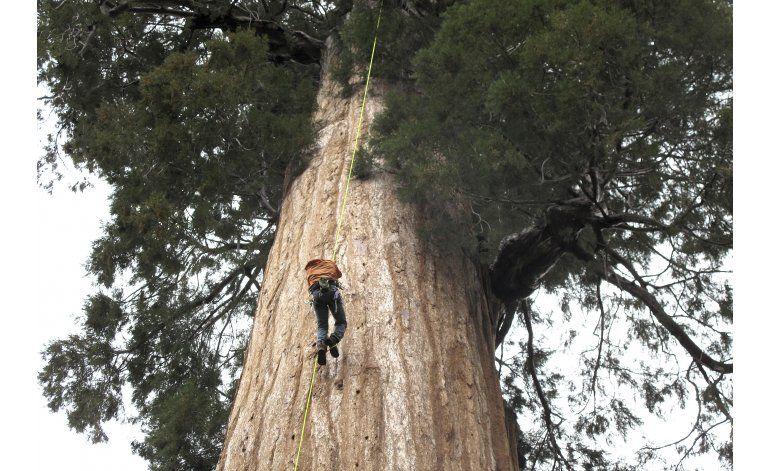 Un grupo clona secuoyas para combatir el cambio climático