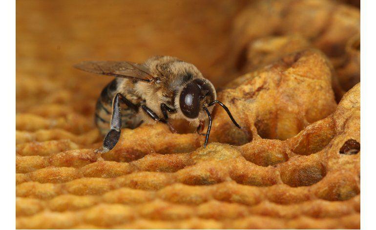 Estudio: Insecticida parece reducir esperma vivo de abejas