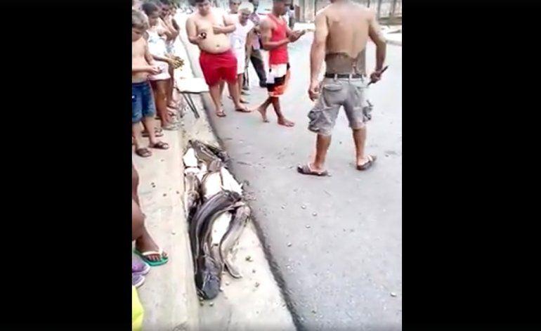 [Video] Encuentran decenas de Clárias viviendo bajo una alcantarilla, en plena calle de Cuba