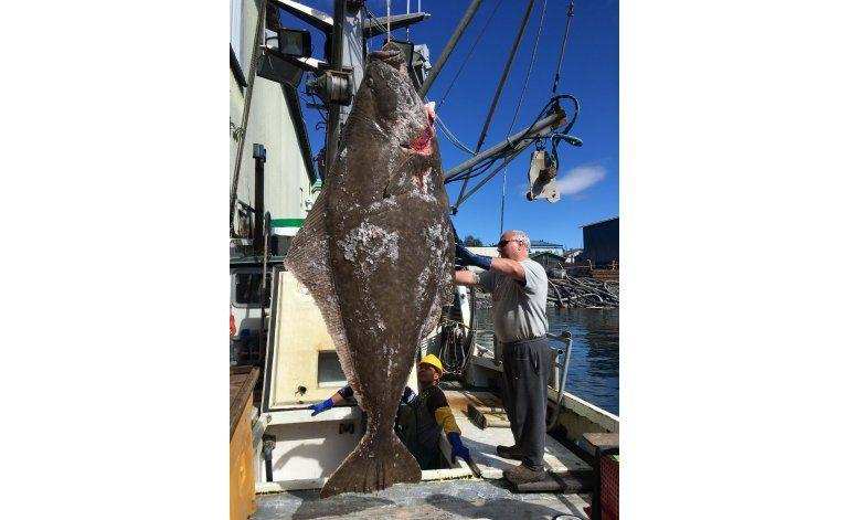 Alaska: Pescadores capturan halibut gigante