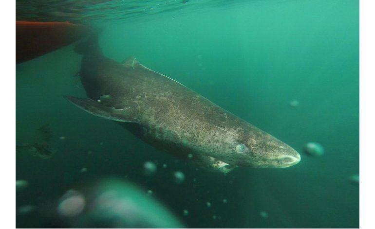 Tiburón de Groenlandia es el vertebrado vivo más viejo
