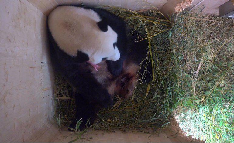 ¡Sorpresa! Una panda da a luz mellizos en un zoo de Viena