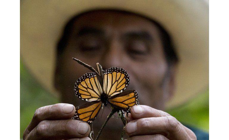 México: Tormentas dañan hábitat de la mariposa monarca