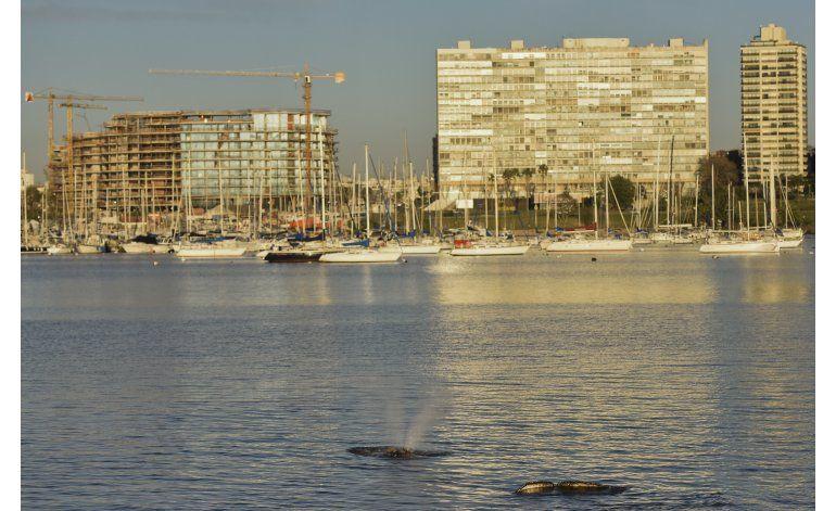 Ballena llega a morir a la costa de Montevideo