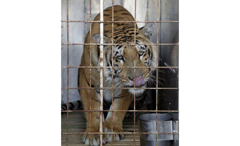 Tigre rescatado de zoológico en Gaza llega a Sudáfrica