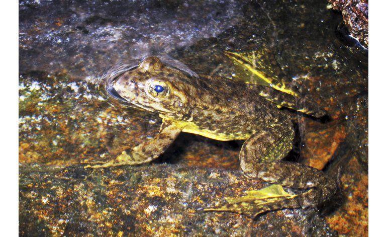 California impone protecciones a dos especies de rana