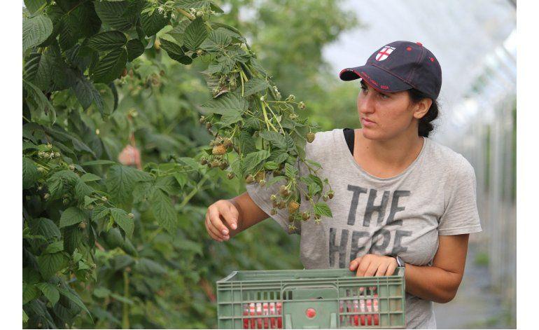 Sin trabajadores de UE, ¿quién recogerá la fruta británica?
