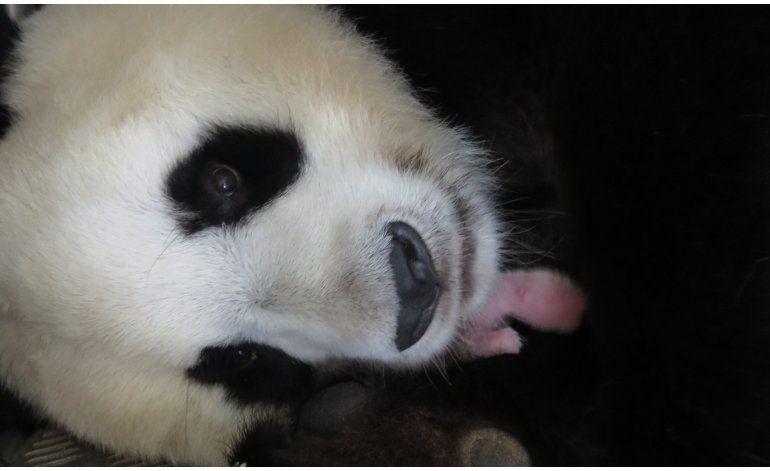 Nace una osa panda en el zoológico de Madrid