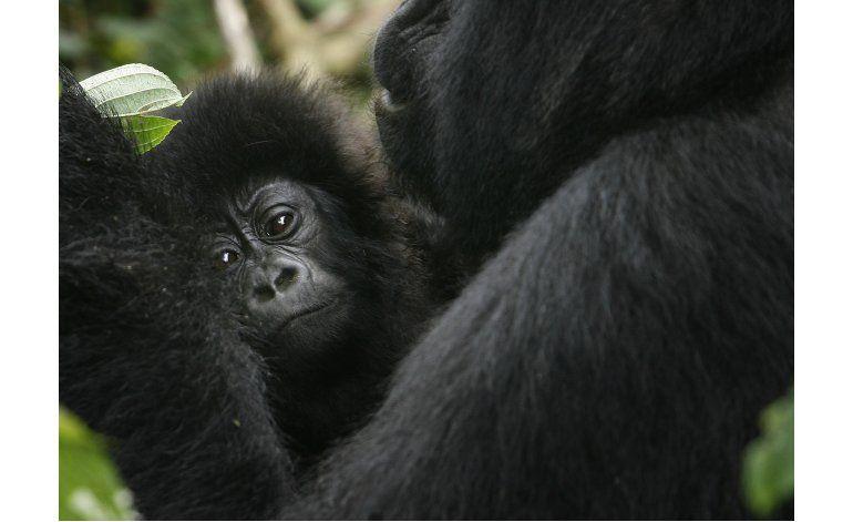 Incluyen a gorila en lista de especies en peligro crítico