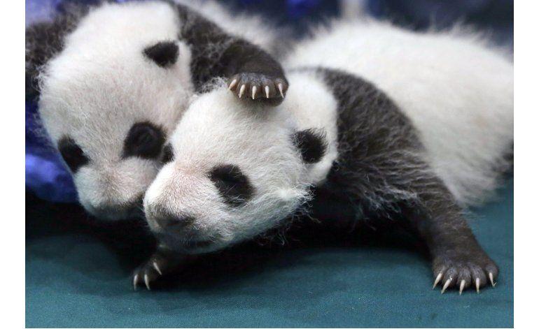El panda gigante deja de ser una especie amenazada