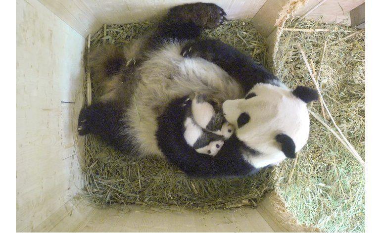 Los pandas nacidos en un zoo de Viena son hembra y macho